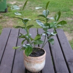 Kumkwat okrągły – Fortunella japonica
