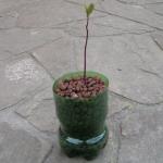 Hydroponiczna uprawa Avocado