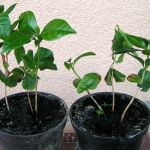 Kawa – opis rośliny