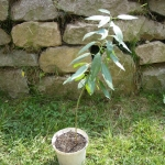 Drzewko migdałowe