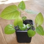 Hodowla figi z nasiona