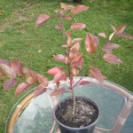 Nashi rośnie i nabiera kolorów