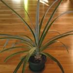Postępy w hodowli Ananasa