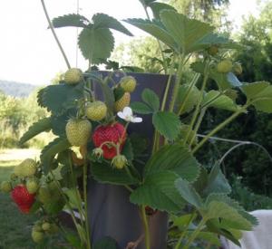 Uprawa wertykalna truskawek