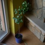 Kalamondyna z nasiona po 4 latach