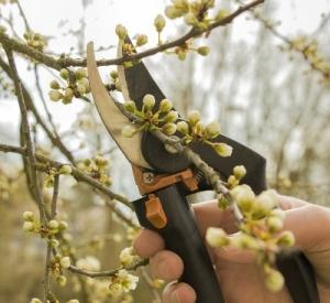 Jak przycinać drzewa owocowe?