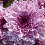 Chryzantemy ogrodowe – jak sadzić i pielęgnować jesienne byliny?