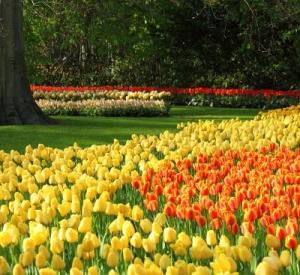 Kiedy i jak sadzić cebulki tulipanów? Sadzenie tulipanów krok po kroku