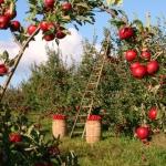 Problemy w uprawie: plamistość roślin pestkowych i ziarnkowych