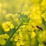 Rzepak jary – wymagania i nawożenie