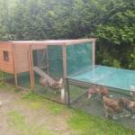 Każdy może hodować kury