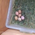 Każdy może hodować kury cz. II