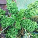 Jarmuż, roślina odporna na mróz
