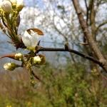 Kwitnące nashi z pestki.