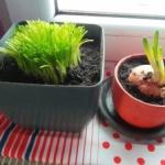 Pędzenie warzyw czyli ogródek na parapecie.