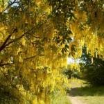Złotokap – złoty deszcz