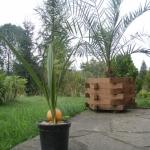 Palma z pestki daktyla