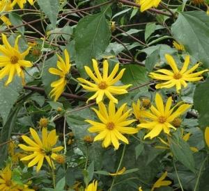 Topinambur – uprawa i pielęgnacja