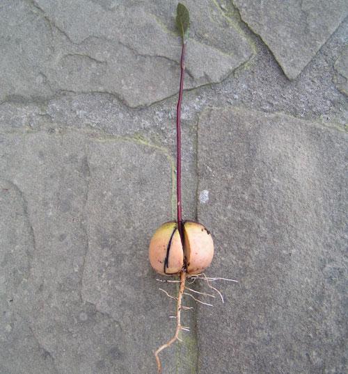 Korzeń Avocado