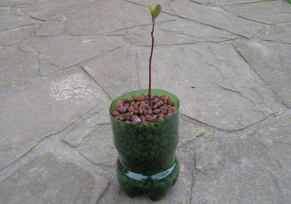 Avocado w keramzycie