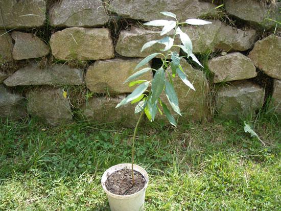 Drzewko migdałowe z pestki