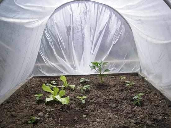 Rośliny w namiocie foliowym