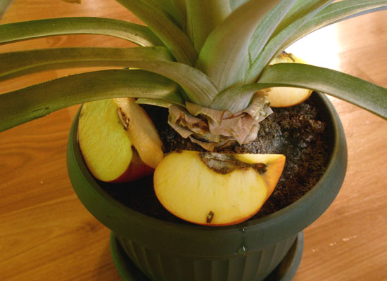Pokrojone jabłko do pobudzenia ananasa aby owocował