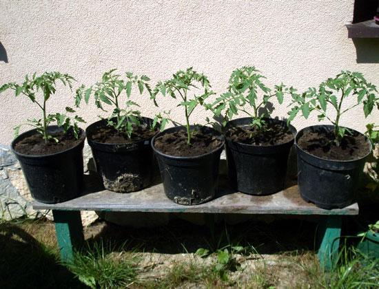Pomidory przed rozpoczęciem nawożenia
