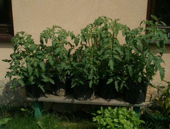 Nawozenie pomidorow3