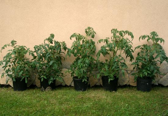 nawozenie-pomidorow