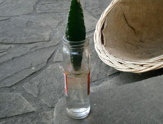 Ukorzenianie pitaji w wodzie