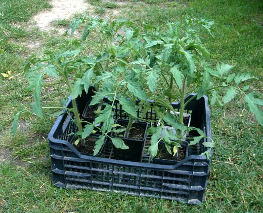 Sadzoniki pomidorów KRAKUS