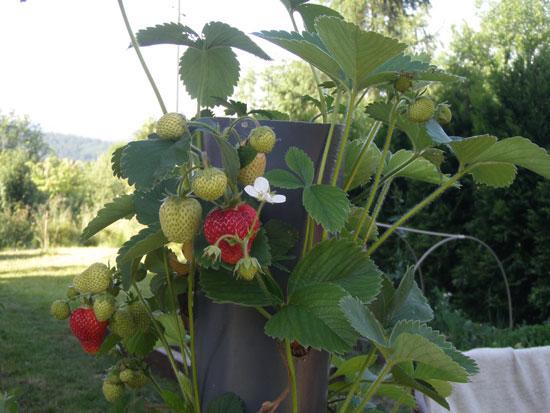 uprawa-pionowa-truskawek