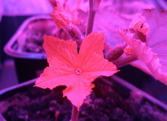 Ogórek kwitnący w growboxie