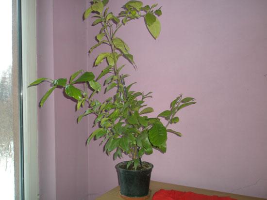 5 letnia cytryna z pestki