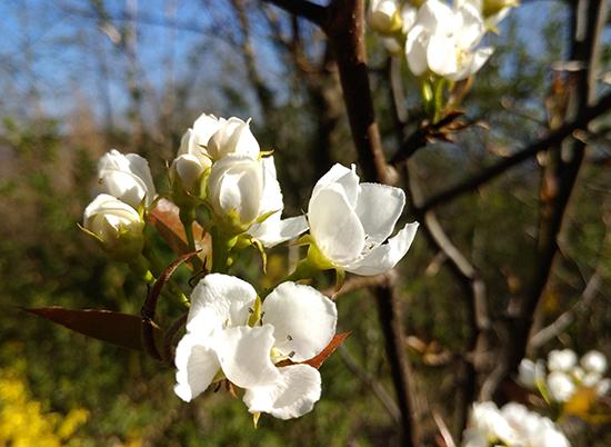 Kwiaty nashi